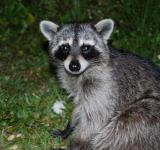 Free Photo - Raccoon