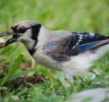 Free Photo - Blue Jay Snack