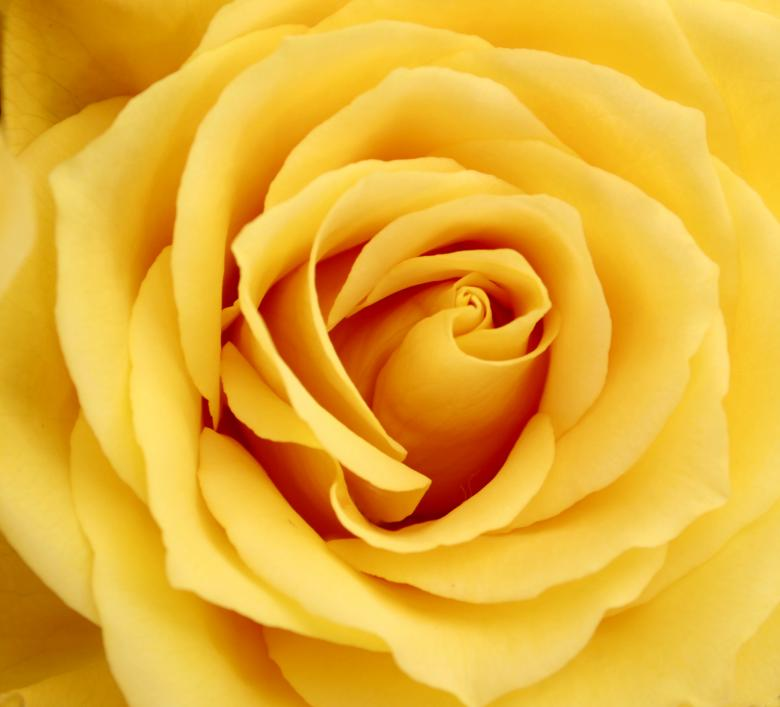 Free Stock Photo of Yellow Rose Created by fernevans