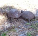 Free Photo - Florida endangered gopher tortoise