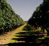 Free Photo - The mango orchard