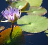 Water lily - Free Stock Photo