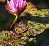 Free Photo - Water lily