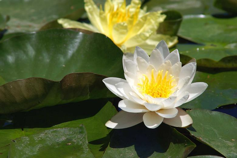 Free Stock Photo of Water lilies Created by to0w1r3d