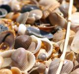 Free Photo - Sea shells