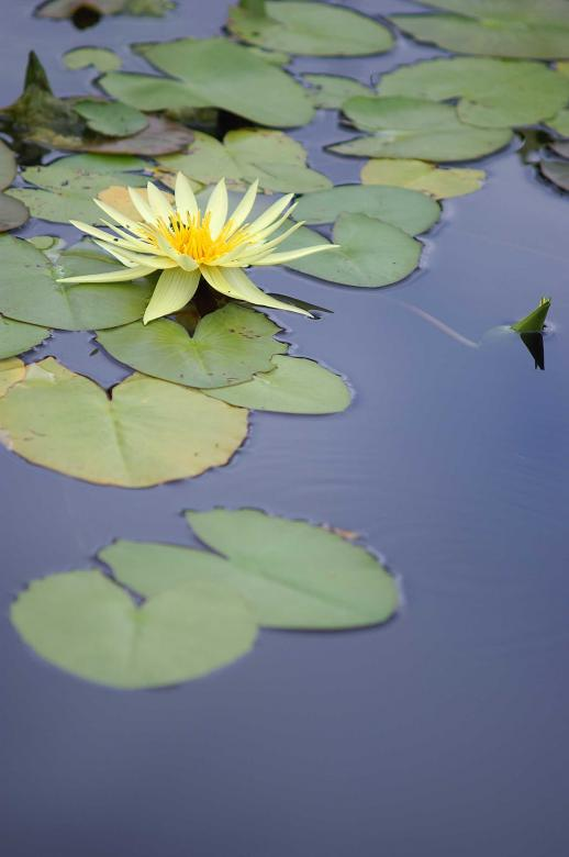 Free Stock Photo of Yellow water lily Created by to0w1r3d