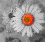 Free Photo - Daisy