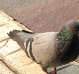 Free Photo - Urban pigeon