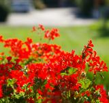 Free Photo - Red flowers