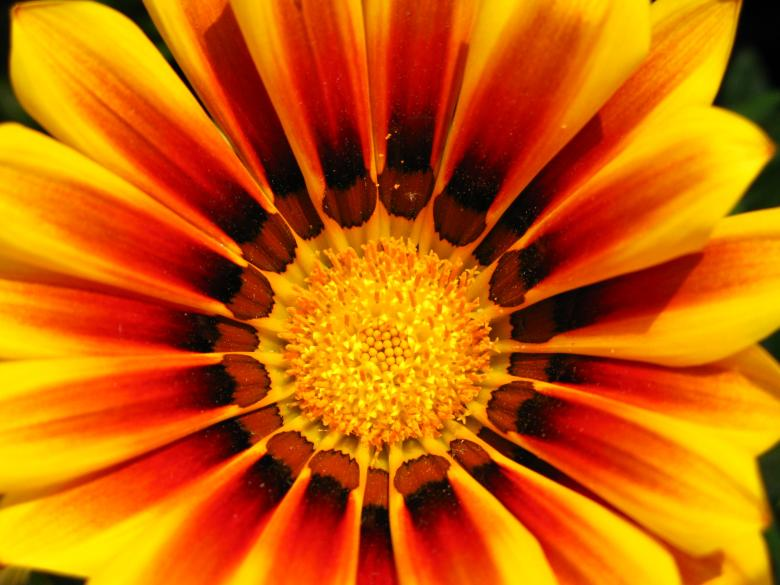 Yellow and red flower Free Photo