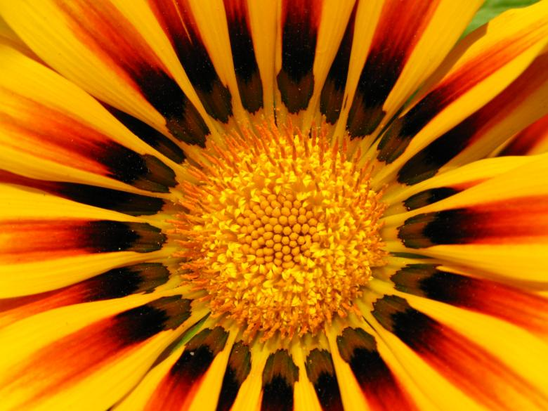 Free Stock Photo of Yellow and red flower Created by tdub