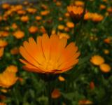 Free Photo - Orange flowers