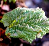 Free Photo - Rhubarb plant