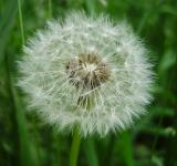 Free Photo - Dandelion Clock