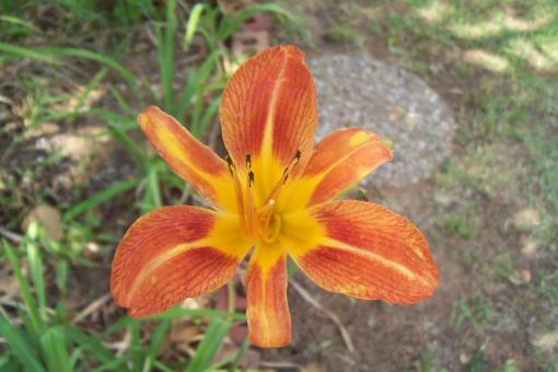 Day Lily at Moms place - Free Stock Photo