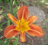 Free Photo - Day Lily at Moms place
