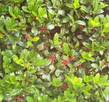 Free Photo - Holly Bush