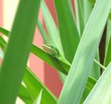 Free Photo - Green Anole