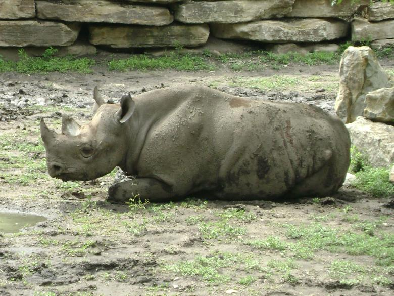 Free Stock Photo of Sleepy Rhino Created by Lokigrl616