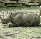 Free Photo - Sleepy Rhino