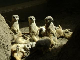 Download Sunbathing Meerkats Free Photo