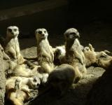 Free Photo - Sunbathing Meerkats