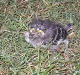 Free Photo - Baby Mockingbird