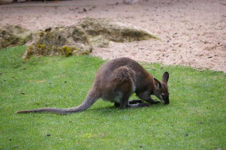 Free Stock Photo of Kangaroo Created by frhuynh
