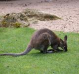 Free Photo - Kangaroo