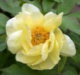 Free Photo - Tellow Tree Peony