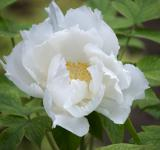 Free Photo - White Tree Peony