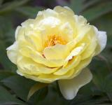 Free Photo - Yellow Tree Peony
