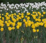 Free Photo - White and yellow tulips