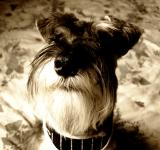Free Photo - Miniature schnauzer