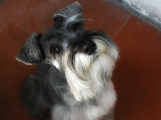 Miniature schnauzer Free Photo
