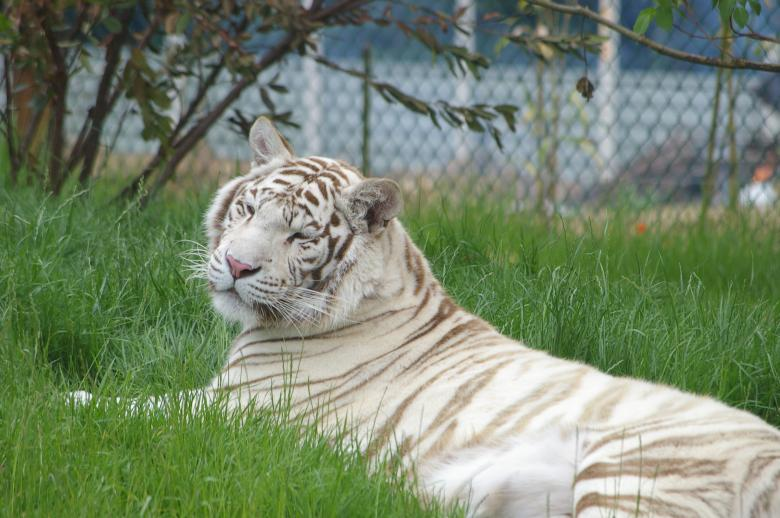 Free Stock Photo of White tiger Created by frhuynh