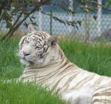 Free Photo - White tiger