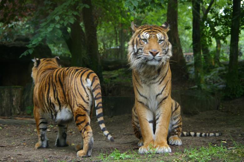 Free Stock Photo of Tigers Created by frhuynh