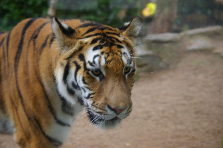 Free Stock Photo of Tiger Created by frhuynh