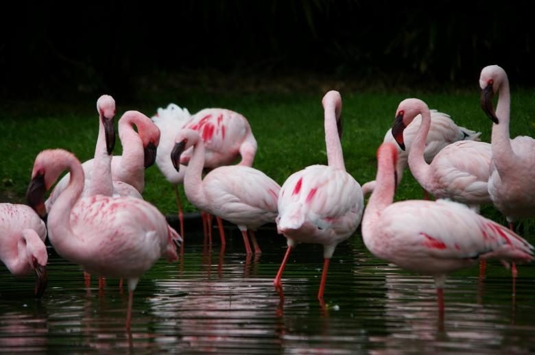 Free Stock Photo of Pink flamengos Created by frhuynh