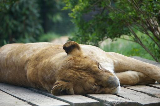Lioness - Free Stock Photo