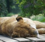 Free Photo - Lioness