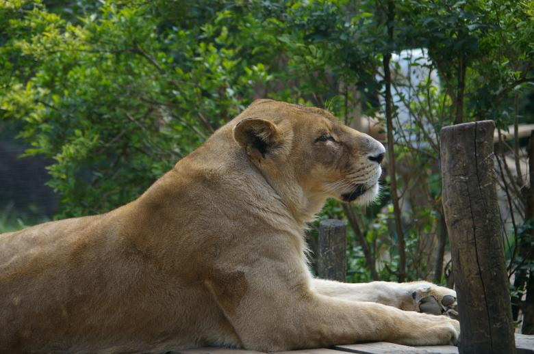 Lioness Free Photo