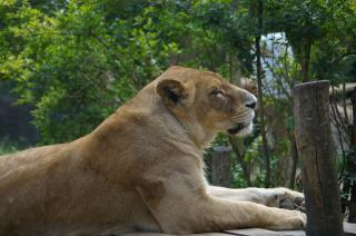 Download Lioness Free Photo