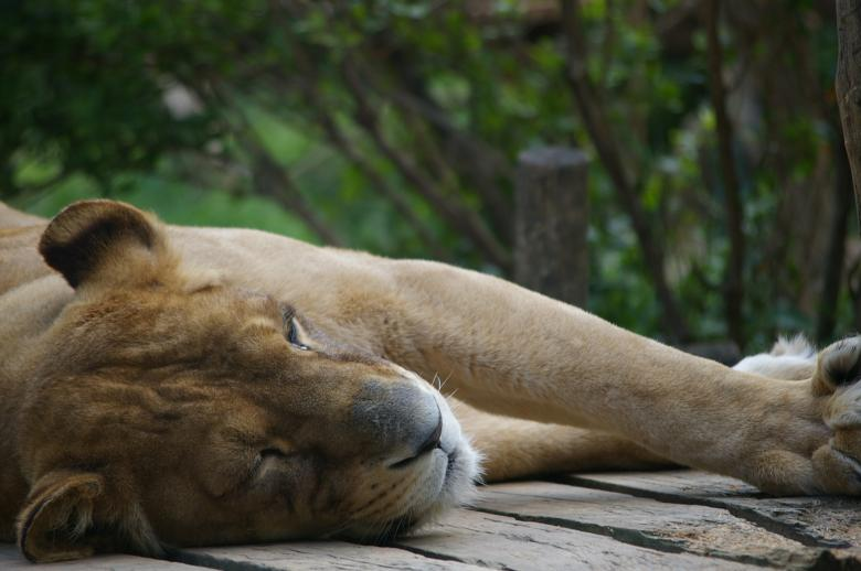 Free Stock Photo of Lioness Created by frhuynh