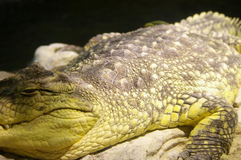 Free Stock Photo of Crocodile Created by frhuynh