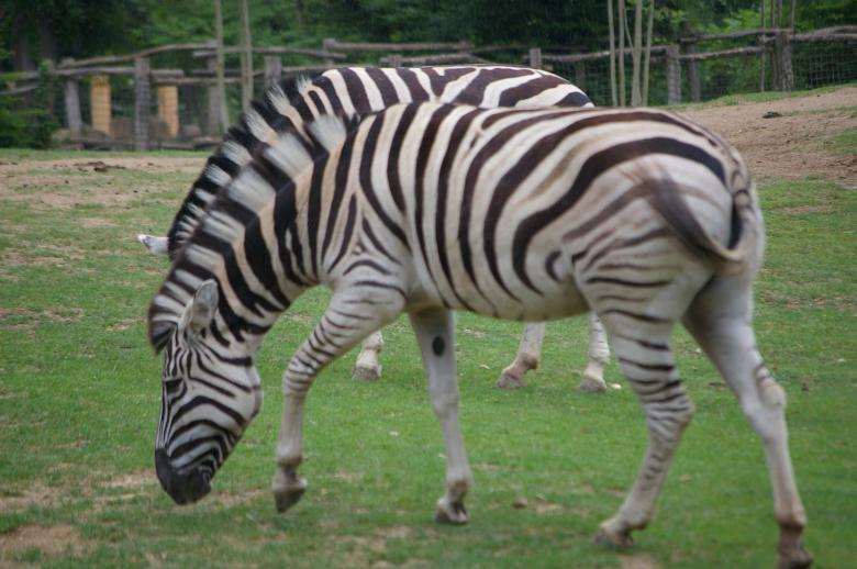 Free Stock Photo of Zebra Created by frhuynh
