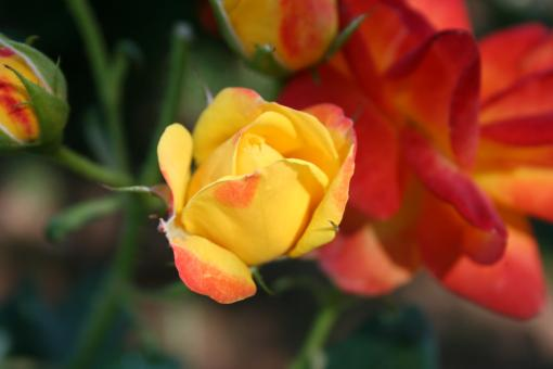 Firey roses - Free Stock Photo