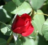 Free Photo - Beautiful red rose