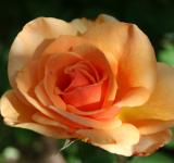 Free Photo - Beautiful rose